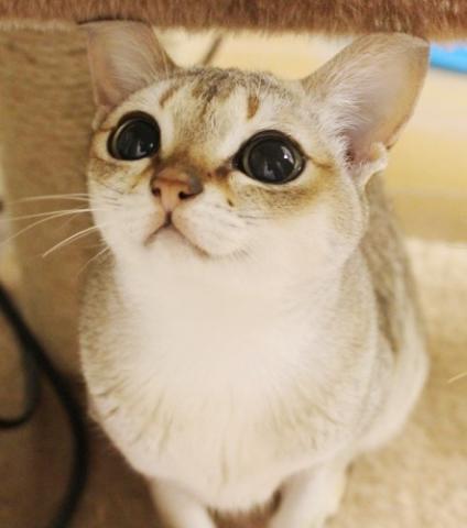 シンガプーラ - シンガプーラ 猫...