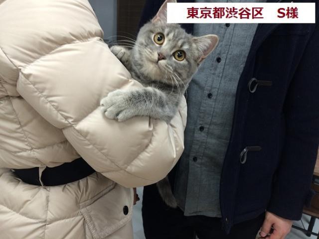マンチカン【足長】 , ⭐タレント猫専門店⭐ねこランド春日部西口店