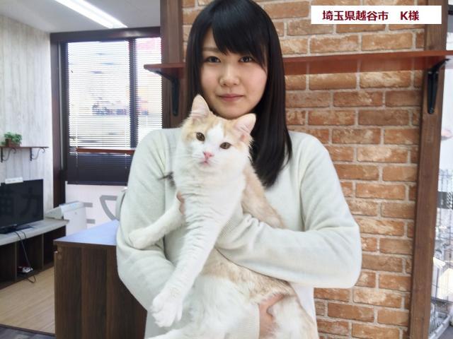 マンチカン【セミロング・足長・マイクロチップ装着猫