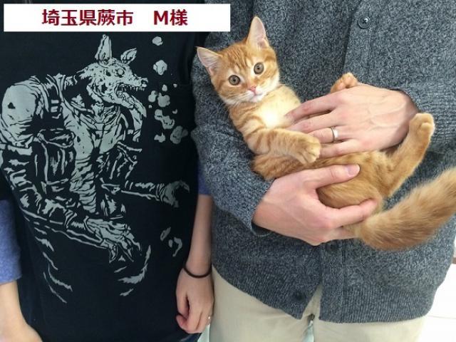 ミヌエット(旧ナポレオン)【足長】 , ⭐タレント猫専門店
