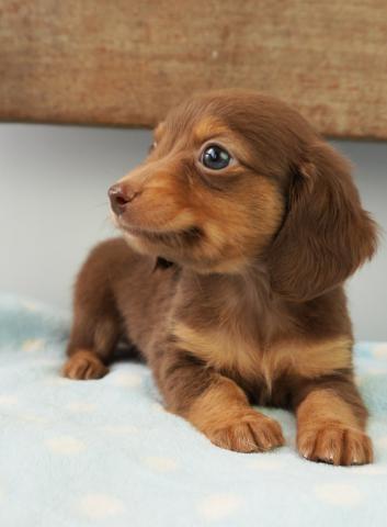 MIX(雑種)チワックス - Puppy&...