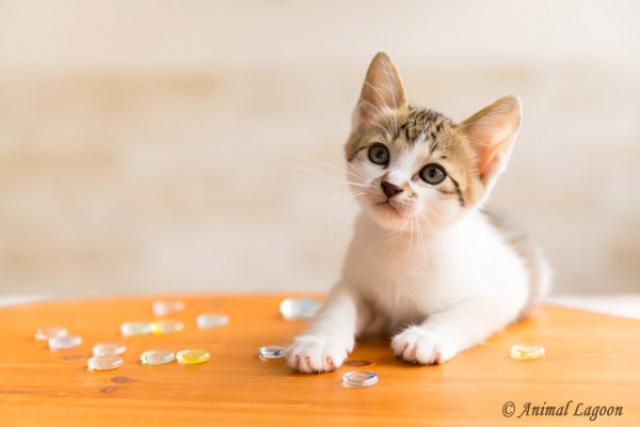 タレント猫ちゃん販売の専門店★TV出演・モデル・雑誌掲載された猫ちゃんを安価にて