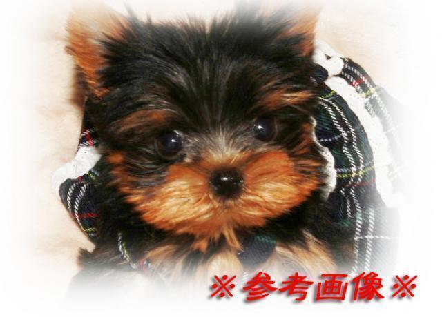 成犬予想が1.5kg前後と《超極小サイズ!!》で【最強】に可愛い男の子が誕生!!