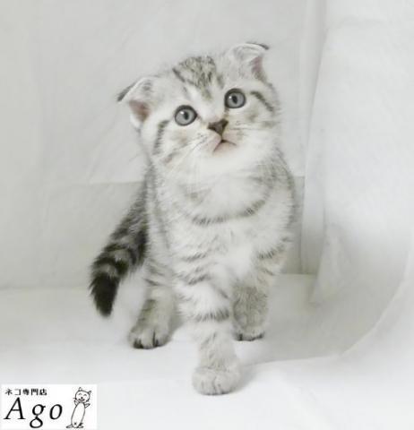 アゴはネコ ★猫ちゃん専門店★可愛いネコちゃんが沢山!