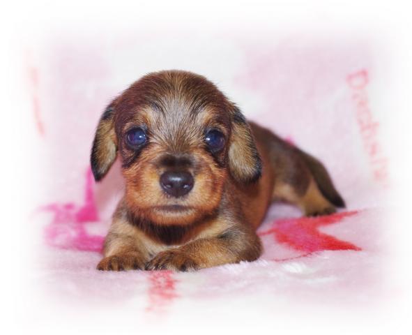 希少な【ワイヤー】で成犬予想が3kg前後のメッチャ可愛い女の子が誕生しました!!