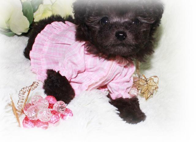 成犬予想が2kg前後と小ぶりで【プラチナシルバー】の《極上》に可愛い女の子です!