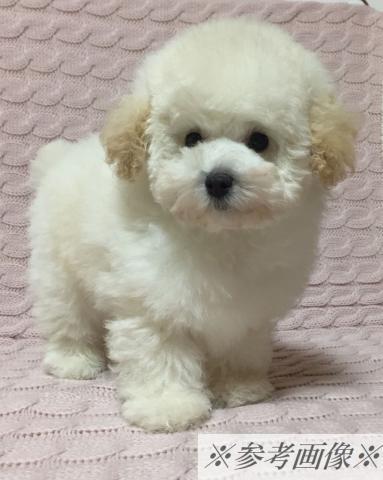 成犬予想が2kg前後と小ぶりで手足の短い《ドワーフタイプ》で【極上】に可愛い子!