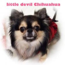 チワワ専門犬舎  Little.Devil.Chihuahua