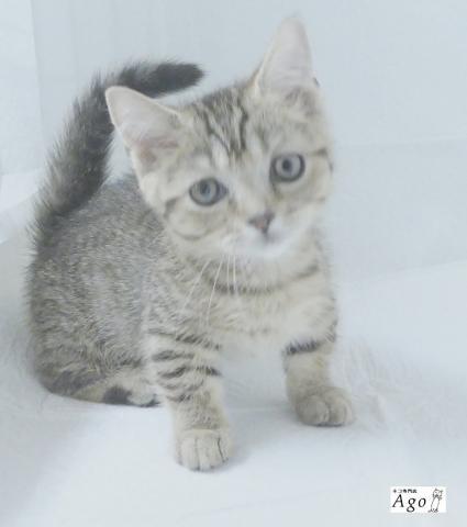 極短足アゴはネコ ネコ専門店代々木駅1分通常販売子猫や里親ネコ