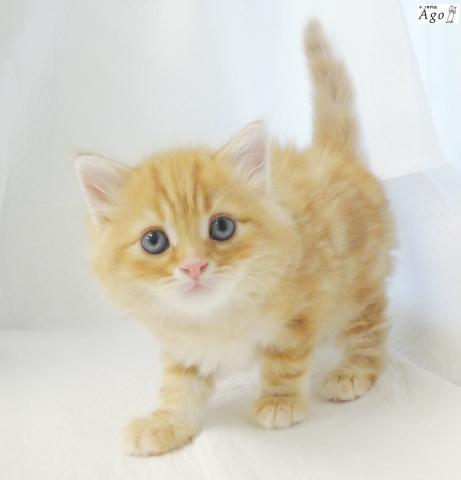 マンチカン , アゴはネコ ネコ専門店代々木駅1分通常販売子猫