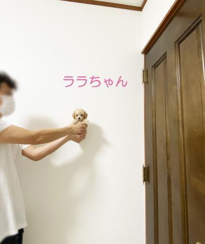 ★トイプードル★クリームの女の子★