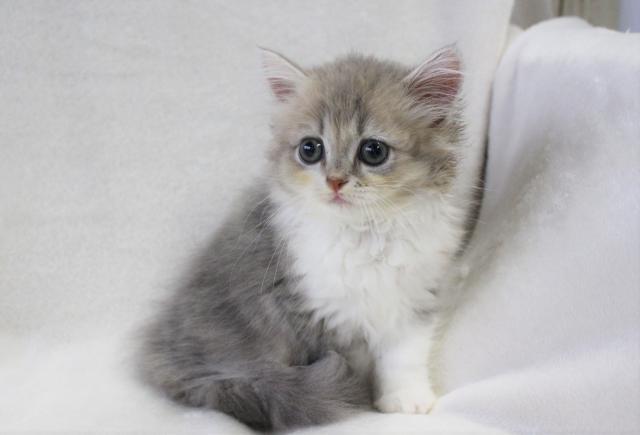 ⭐『ねこランド』の猫ちゃんはコミコミ表示価格⭐消費税込み・諸経費込みだから安心💕